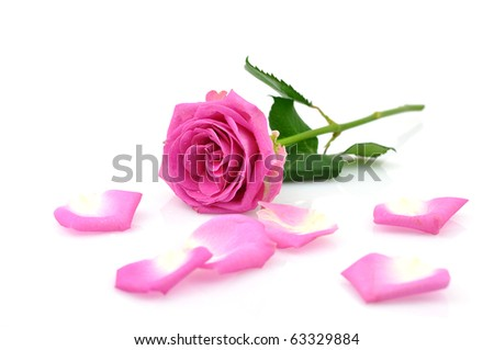 Pink rose and petals, isolated on white - stock photo