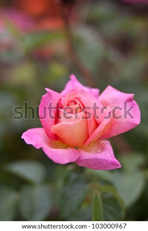 Pink Rose Blooming in Garden - stock photo