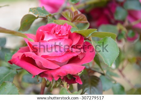 Pink Rose Blooming in Garden, daylight, selective focus - stock photo