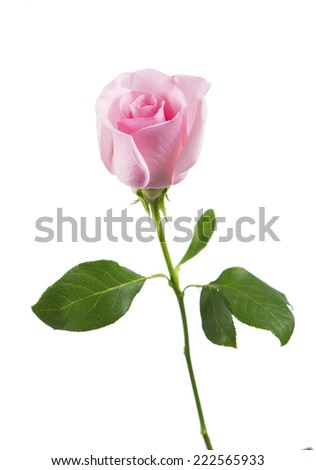 Pink rose bud isolated on white background  - stock photo
