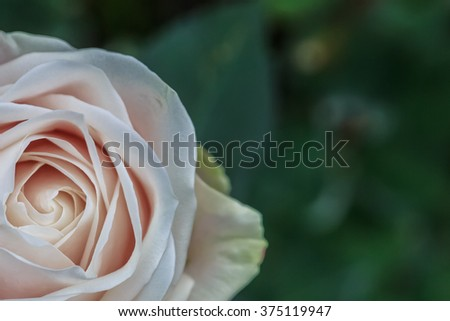 Pink Rose Closeup, Copy space in blurred green background - stock photo