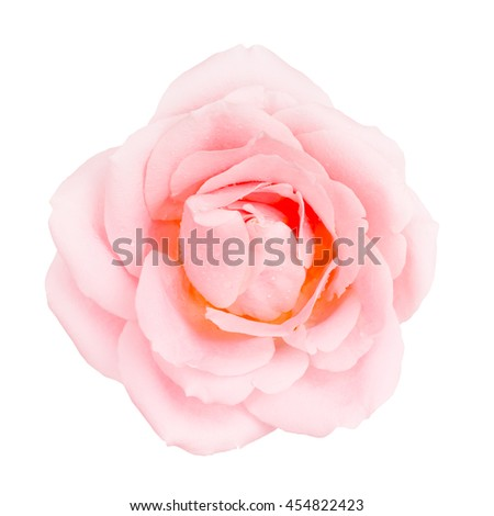 Pink Rose Flower - stock photo