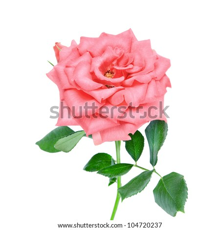 pink rose flower isolated on a white - stock photo