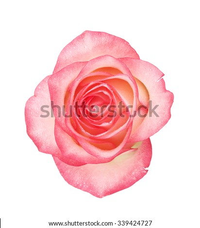 pink rose flower, isolated on white background - stock photo