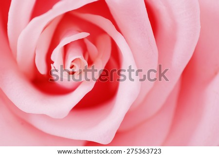 Pink Rose Flower isolated on white background with shallow depth of field and focus the centre - stock photo