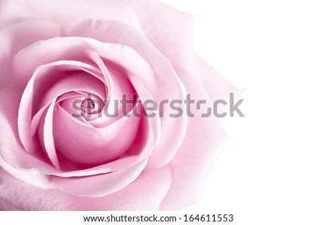 Pink Rose Flower isolated on white background with shallow depth of field and focus the centre of rose flower  - stock photo