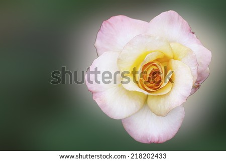 Pink Rose Flower on green background with shallow depth of field and focus the centre of rose flower - stock photo