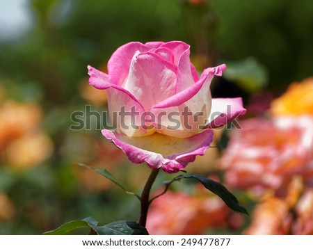 Pink rose in garden, the background is nature blur - stock photo