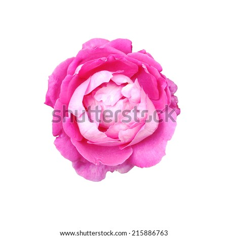 pink rose isolate on white background - stock photo