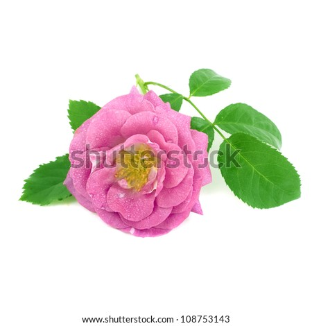 Pink rose isolated on a white - stock photo