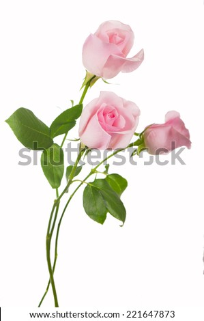 Pink rose isolated on the white - stock photo