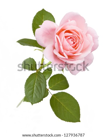 Pink rose isolated on white background - stock photo
