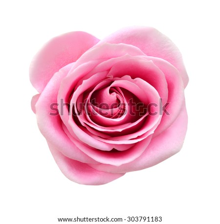 Pink rose isolated on white background. Deep focus. No dust. No pollen.  - stock photo