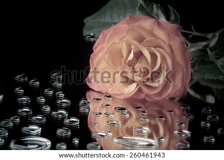 Pink Rose lying on the mirror surface with water drops - stock photo