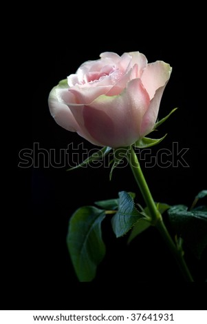 pink rose on a black background - stock photo