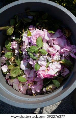 Pink Rose on a garbage can - stock photo