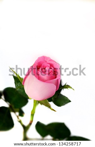 Pink rose on white background - stock photo
