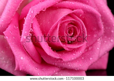 Pink rose with drops isolated on black - stock photo