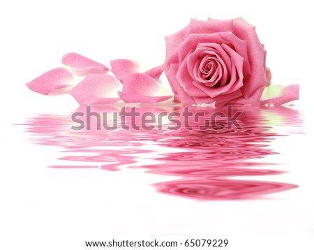 Pink rose with petals - stock photo