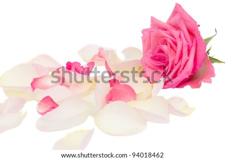 pink rose with petals isolated on white background - stock photo