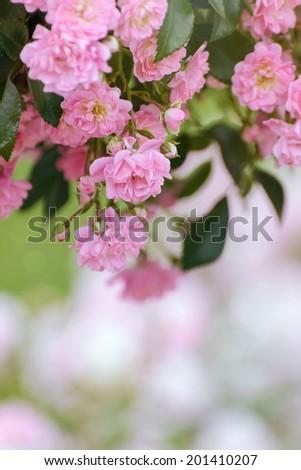 Pink Rosebush - stock photo