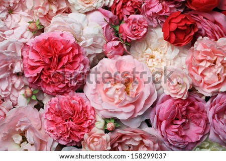 Pink roses background. - stock photo