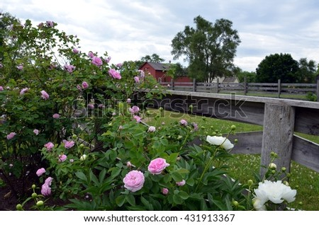 Pink roses by fence and red barn - stock photo
