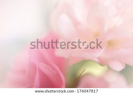 pink roses,  sweet soft color background - stock photo