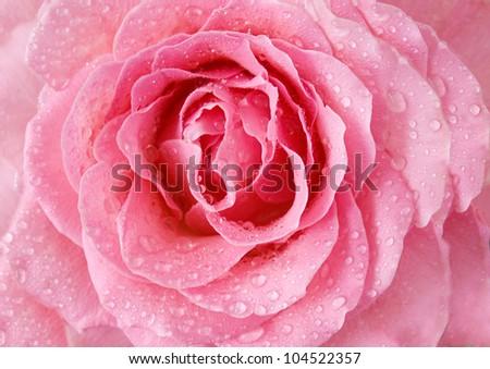 Pink roses with water drop closeup - stock photo
