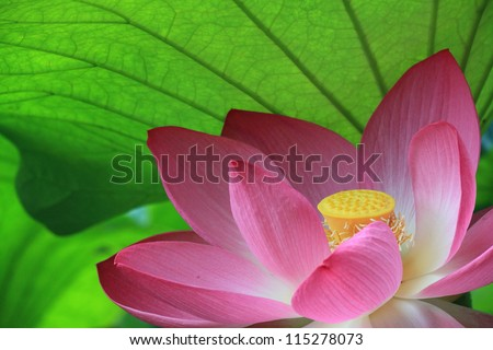 pink sacred lotus - stock photo