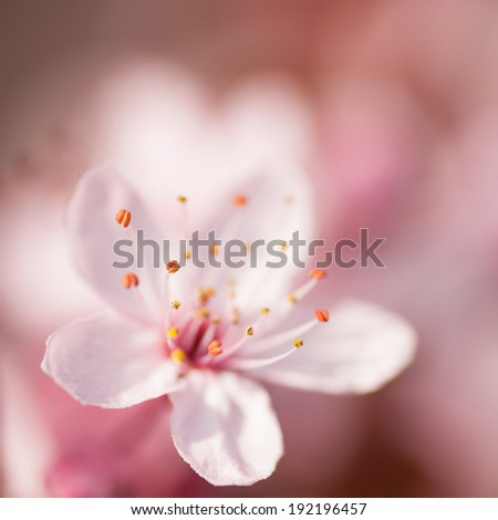 Pink Sakura Cherry Blossom - stock photo