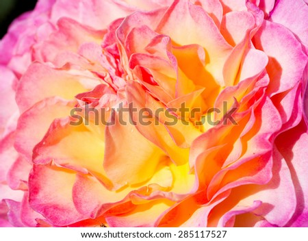 pink shaded luxuriant rose - stock photo