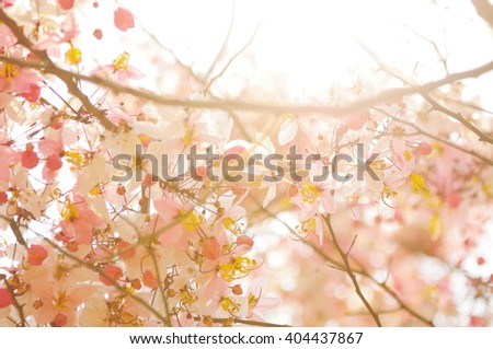 Pink shower blossom or Cassia bakeriana against Sunlight - stock photo