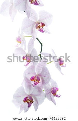 pink spotted  orchids isolated on white background - stock photo