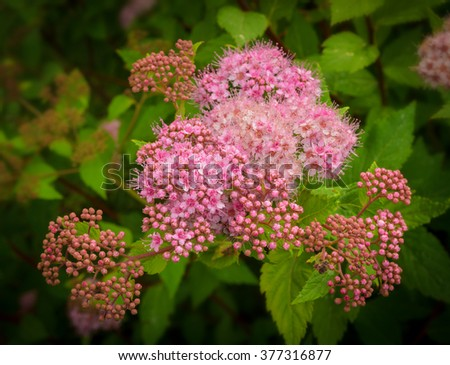 pink spray of meadowsweet flowers - stock photo