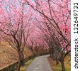pink spring cherry blossom trees along the pathway - stock photo