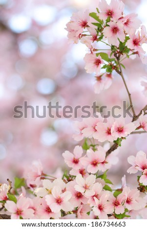 Pink springtime sakura blossoms with a blurred background - stock photo