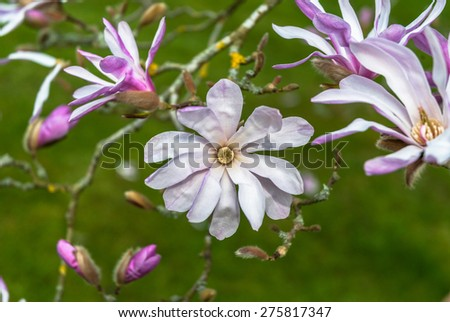 "Pink star magnolia ""stellata"" in flower in early spring. - stock photo"