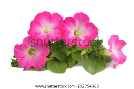 Pink surfinia isolated on white background - stock photo
