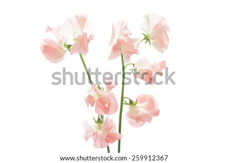 Pink sweet pea isolated on white background  - stock photo