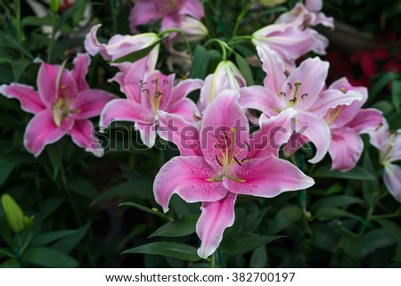 Pink tiger lily flower in bloom in the garden, Selective focus - stock photo