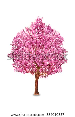 Pink trumpet tree or Rosy trumpet tree, Pink tecoma tree on white background. - stock photo