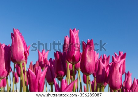 Pink tulip blooms in springtime with a clear blue sky background. - stock photo