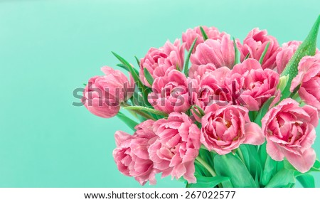 pink tulip flowers with water drops over turquoise background. spring bouquet. - stock photo