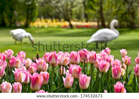 Pink tulips and swans in the park. Spring landscape. - stock photo