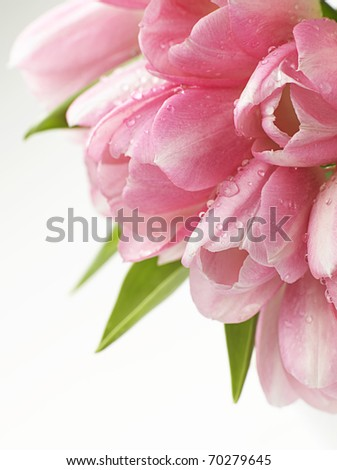 pink tulips flowers closeup on white background - stock photo