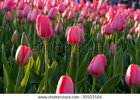 Pink tulips on a filed - stock photo