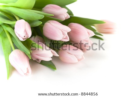 Pink tulips on white background. Selective focus. - stock photo