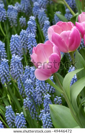 Pink Tulips with Blue Muscari Background Vertical - stock photo