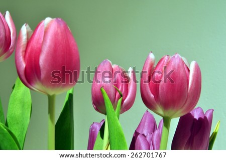 Pink tulips with bokeh on green background. - stock photo